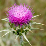 Weed Eater: Milk Thistle